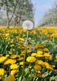 Free Blossoming Yellow Dandelion Royalty Free Stock Photography - 19262867