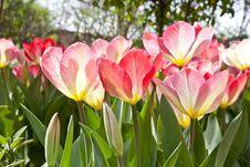 Free Tulips Stock Image - 19263811
