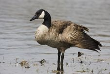 Free Canadian Goose Royalty Free Stock Photos - 19264308