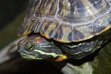 Free Painted Turtle Royalty Free Stock Images - 19264329