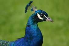 Free Peacock Royalty Free Stock Images - 19264539