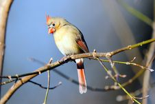 Free Female Northern Cardinal Royalty Free Stock Image - 19264726