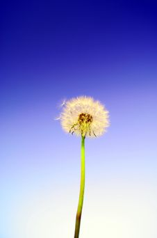Free Dandelion Stock Photo - 19267400