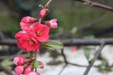 Crabapple Blossoms Stock Photo