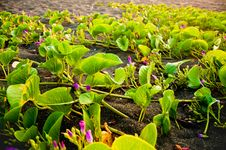 Free Vines In The Black Sands Stock Image - 19268041