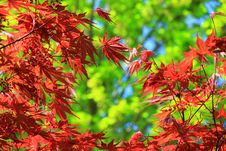 Free Maple Tree Stock Photos - 19268153