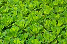 Free Water Lettuce,pistia Stock Images - 19269684