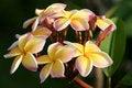 Free Frangipani In A Tropical Garden Stock Photo - 19270490