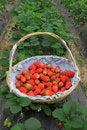 Free Strawberry In Basket Stock Photo - 19274660