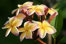 Free Frangipani In A Tropical Garden Stock Photo - 19270490