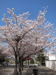 Free Beautiful Cherry Blossom Of Kyoto Royalty Free Stock Images - 19270619