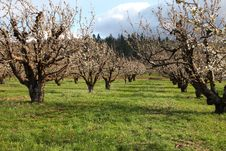 Free Cherry Farm Orchard Near Hood River OR. Royalty Free Stock Images - 19270679
