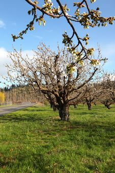 Free Cherry Farm Orchard Near Hood River OR. Stock Photography - 19270682