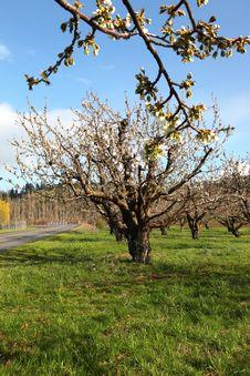 Cherry Farm Orchard Near Hood River OR. Stock Photography