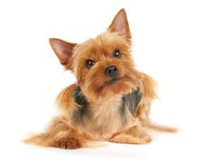 Free Yorkshire Terrier Stock Photos - 19270913