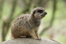 Free Meerkat On A Rock Royalty Free Stock Images - 19271419