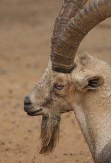 Free Nubian Ibex Stock Image - 19271611