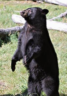 Free Black Bear Standing Stock Image - 19271741