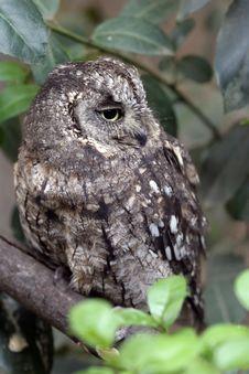 Free Eurasian Scops Owl Stock Photo - 19271820