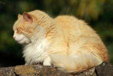 Free Orange Cat Stock Image - 19271821