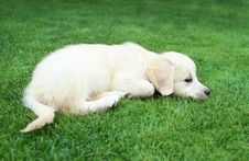Free Golden Retiever Puppy Royalty Free Stock Photography - 19272007