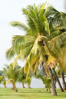 Free Coconut Tree Stock Photography - 19274472
