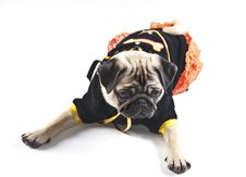 Free Seated Mops Puppy Looking Away Royalty Free Stock Image - 19274476