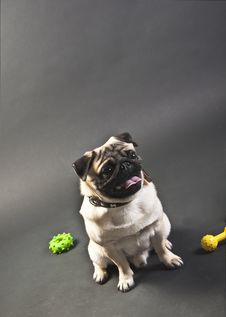 Free Seated Mops Puppy Looking Away Royalty Free Stock Images - 19274519