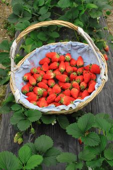 Free Strawberry In Basket Stock Photography - 19274612
