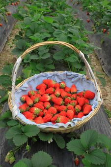 Free Strawberry In Basket Stock Photo - 19274660