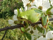Free Tree Frog Royalty Free Stock Images - 19275439