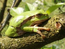 Free Tree Frog Royalty Free Stock Image - 19275446