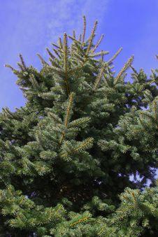 Free Big Christmas Fir Tree Stock Images - 19277294