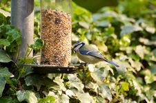 Free Blue Tit On Feeder Stock Images - 19277684