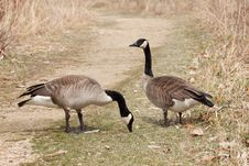 Free Canadian Geese Couple Royalty Free Stock Photo - 19278085