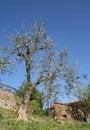 Free Olive Tree Royalty Free Stock Image - 19286446