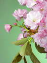 Free Pink Wild Cherry Blossom On Green Stock Photos - 19286593