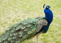 Free Peacock Profile Royalty Free Stock Photography - 19287557