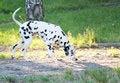 Free Dalmatian Stock Photos - 19289823