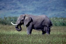Free Adult Bull Elephant Royalty Free Stock Photos - 19280348