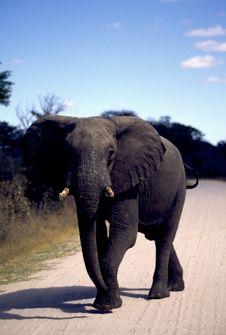 Free Adult Elephant On Road Stock Photography - 19280352