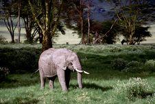Adult Bull Elephant Royalty Free Stock Photos
