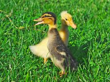 Little Ducks On Green Grass Royalty Free Stock Images