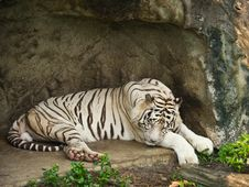 Free White Bengal Tiger Royalty Free Stock Photography - 19281207