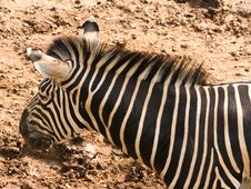 Free Zebra Stock Image - 19281251