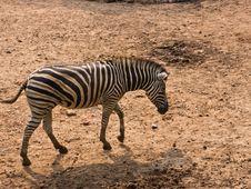 Free Zebra Royalty Free Stock Photos - 19281268