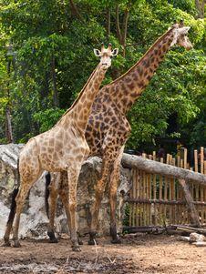 Free Two Giraffe Stock Photography - 19281282