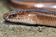 Free Slow Worm Lizard On Sand Stock Images - 19281984