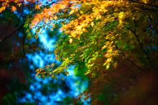 Free Japan Maple 04 Stock Photography - 19282372