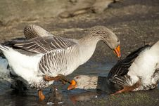 Free Geese Birds Fighting Royalty Free Stock Photos - 19283118